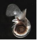 The    Pteropod Limacina Helicina (NOAA 2010)