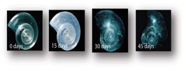 Pteropod shell left in sea water of pH and carbon balances equal to projections for the year 2100 (NOAA 2010).